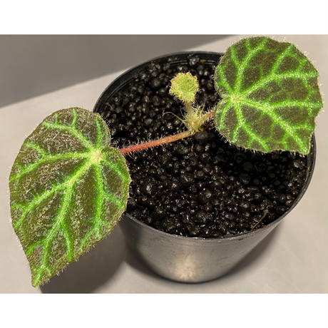 Begonia sp . from Sumpur [TK031117]