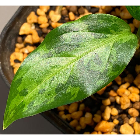 """Aglaonema pictum tricolor """"Siberut1.5"""" [LA021212-00]"""