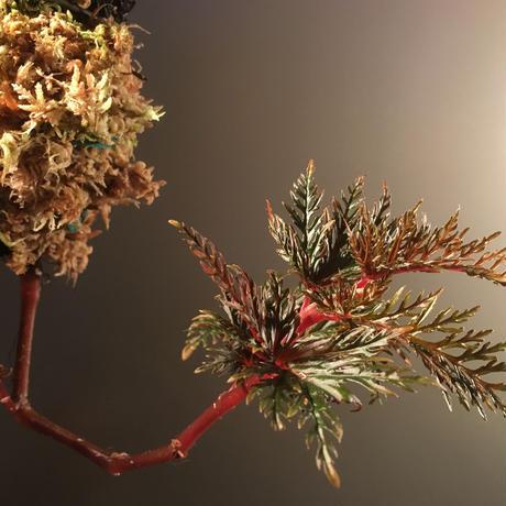 Begonia  bipinnatifida from Indonesia