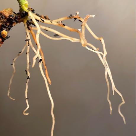 """Aglaonema pictum tricolor """"type Eureca"""" class4 from Pulau Nias [AZ]"""