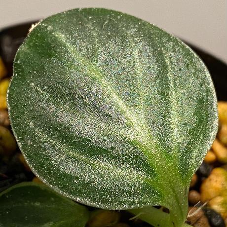 Argostema bifolium from Bukit Larut [TK130717]