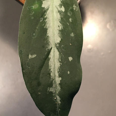 Aglaonema pictum from Sumatera A2 [TK070918] タグ付き