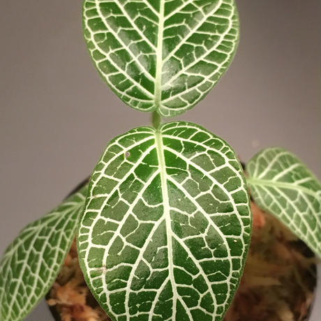 Fittonia verschaffeltii from Peru