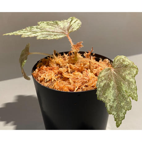 Begonia cv. Jaggy [LA0314-00-f1]