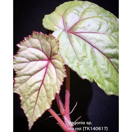 Begonia sp . from Ha Noi [TK140617]