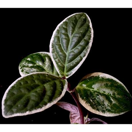 Cosmianthemum bullatum [LA0515-02]