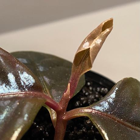 Ardisia sp. from Kayulapis [TB]