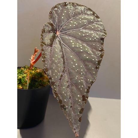 Begonia integrifolia from Satun Thailand