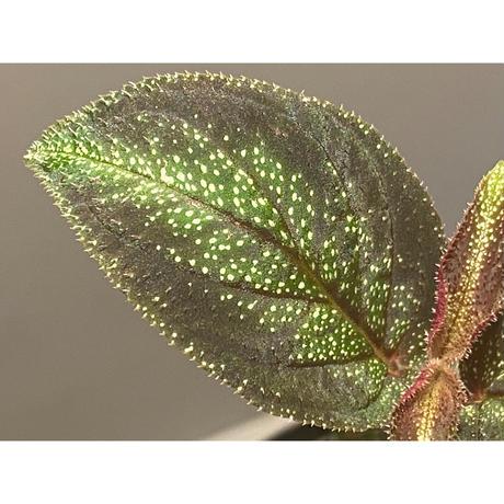 Sonerila sp. from Phitsanulok
