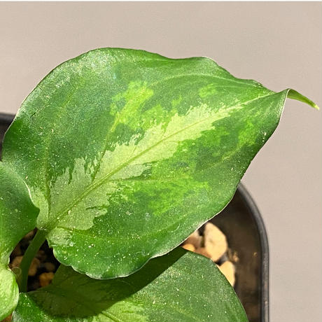 Aglaonema pictum JCS from Sumatera Barat [AZ0413-2a]