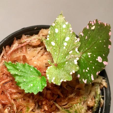 Begonia gracilicyma from Sumatera