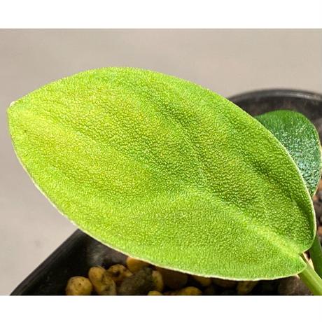 Homalomena sp. 鮫肌C from Aceh Sumatera [LA0816-2]