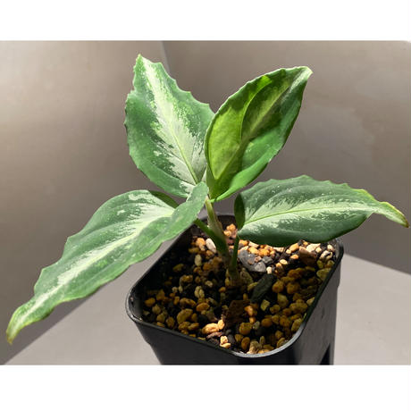 Aglaonema pictum from Sumatera Utara [KN]