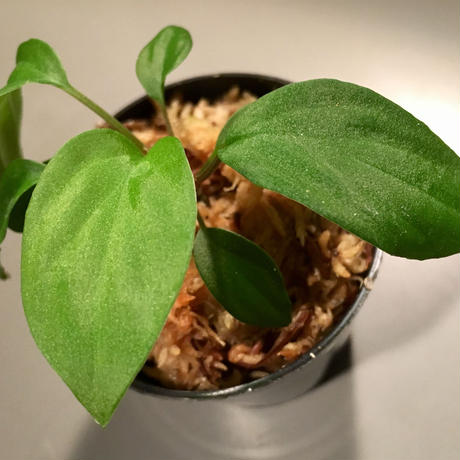 Homalomena sp. from Ranau [TK210217]