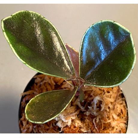 Ardisia sp. from West Kalimantan