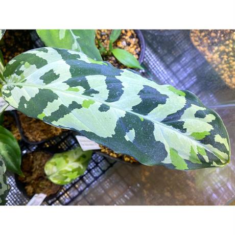 "Aglaonema pictum GW1507 ""メサイア"" from Padang sidempuan [TB]"