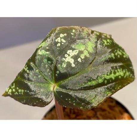Begonia variabilis from Dabong [TK150717]
