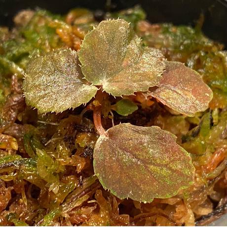 Begonia sp. from Pulau Halmahera [LA0314-02]