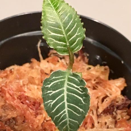 Ardisia sp. from Perlis Malaysia