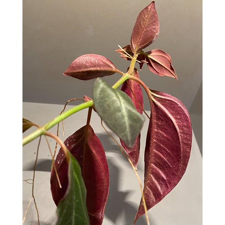 Pachycentria sp. from Selangor