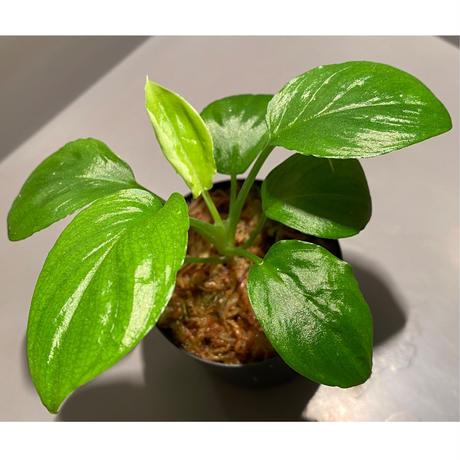 Homalomena sp. from Padang sumatera