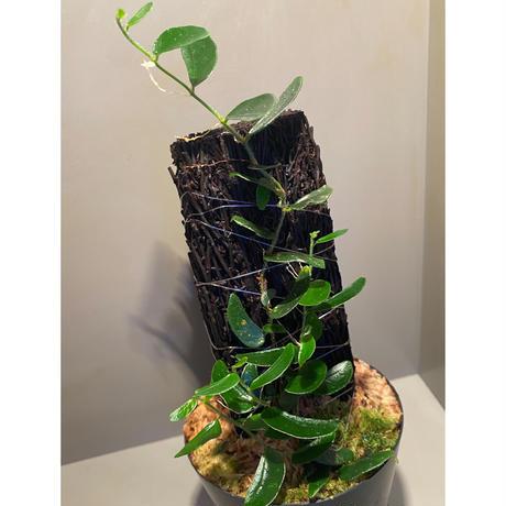 Ficus sp. from Mt. Besar