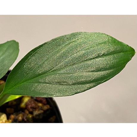 """Homalomena sp. from """"Nanga pinoh"""" Kalimantan barat [TB]"""