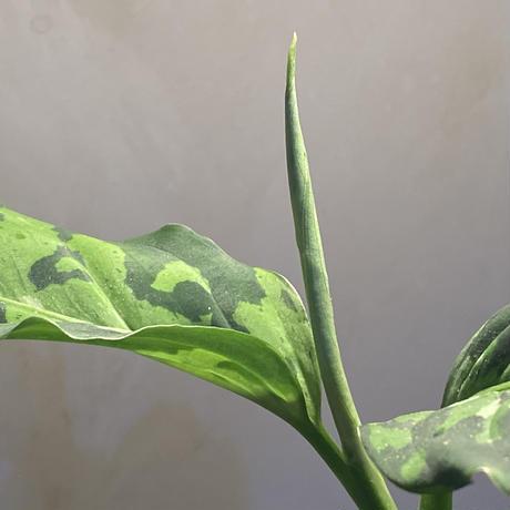 Aglaonema pictum GW Type1 from Padang sidempuan [TB1410]