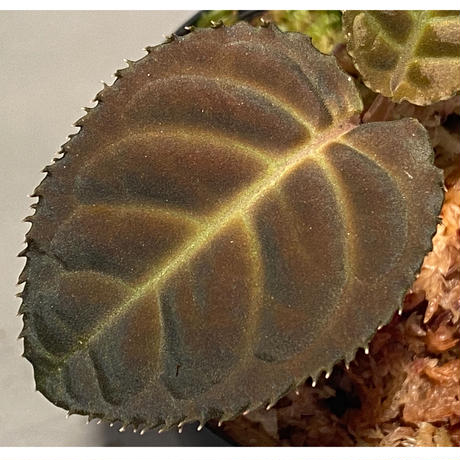 Ardisia sp. from Thailand
