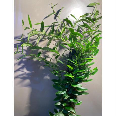 Ficus sp. from Bau