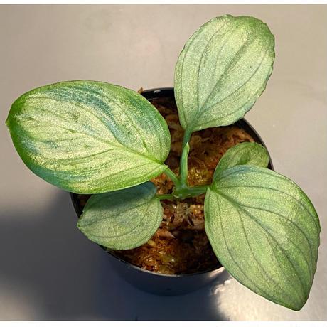 """Homalomena sp. """"Emerald  Silver"""" from Kepulauan Riau [KN]"""