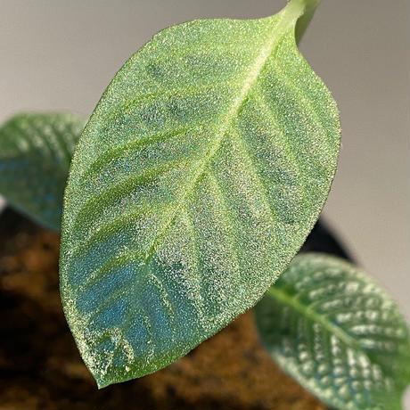 """Gesneria sp. from """"Kayu lapis"""" [TB]"""