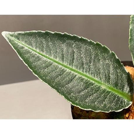 Ardisia sp. from Aceh Selatan [HW0816-03]
