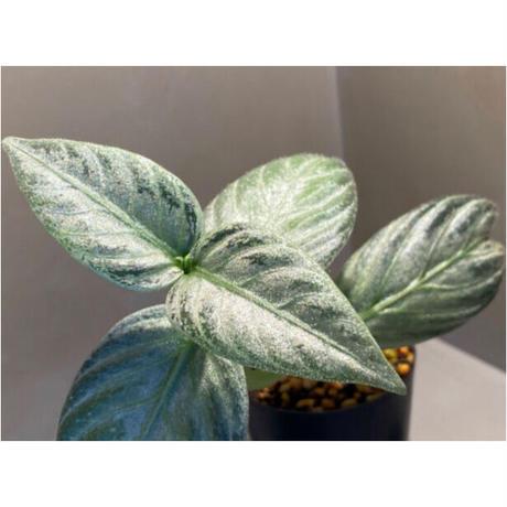 Argostemma bifolium from Bukit Larut [TK130717]