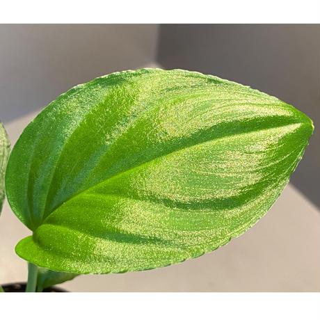 "Homalomena sp. ""Emerald Silver × ?"" wf1 from Kepulauan Riau [KZT]"
