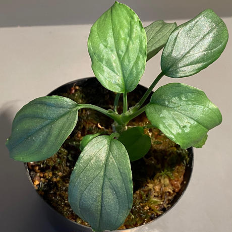 """Homalomena sp. """"Silver Bullet Green"""" from P.Linga [AZ1017-1]"""
