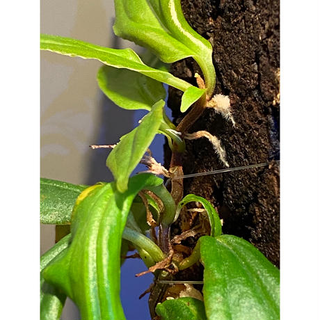 Medinilla sp. from Nueva Vizcaya  Luzon Philippines