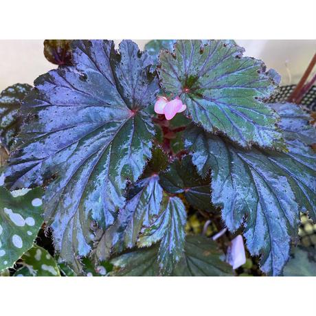 Begonia Hyb. (Halmahera × Aceh)