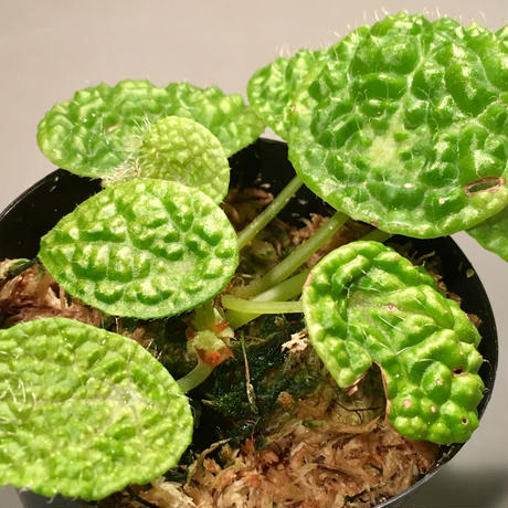 Begonia microsperma from Cameroon