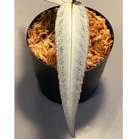 Labisia sp. from Kapuas hulu Kalimantan barat
