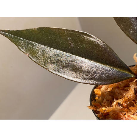 Medinilla sp. from Irian Jaya Papua
