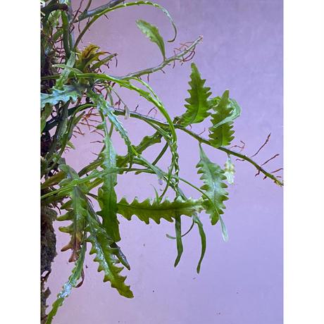 Solanopteris bifrons from Madre de Dios [LA1017-04]
