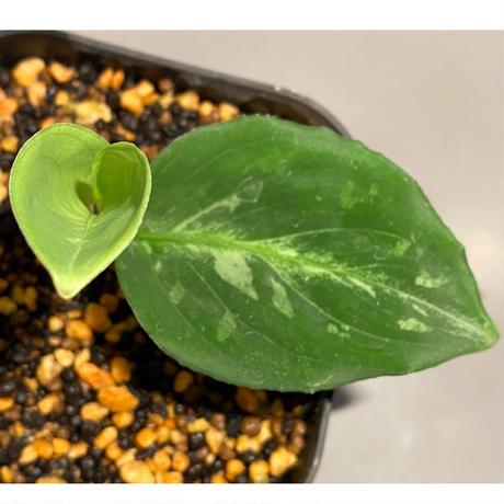 Aglaonema pictum 白モザイク CW1302 西スマトラ [TB]