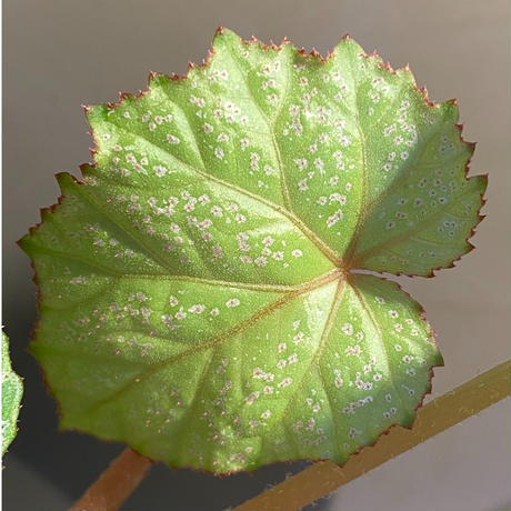 Begonia sp. from Na Hang [YH1118] TK