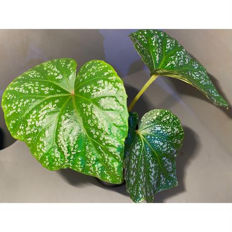 (大株) Begonia sp. from Na Hang [YH1118] TK
