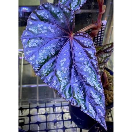 Begonia handelii var. prostrata from Viet Nam