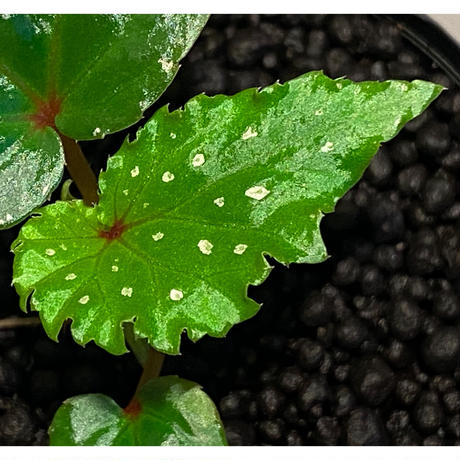 Begonia sp. from Keningau [TK190217]
