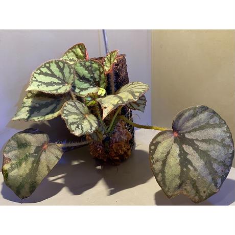 Begonia luzonensis (ヘゴ仕立て)