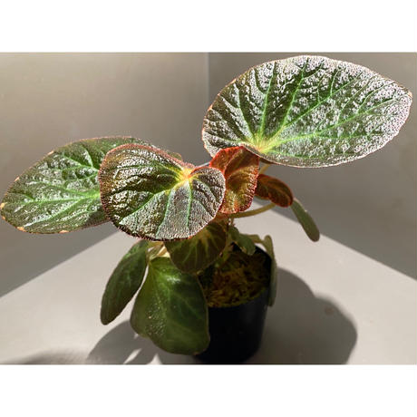 Begonia sp. from Manaus