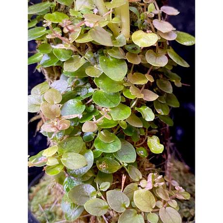 Ficus sp. from Aceh sumatera [LA0616-04]